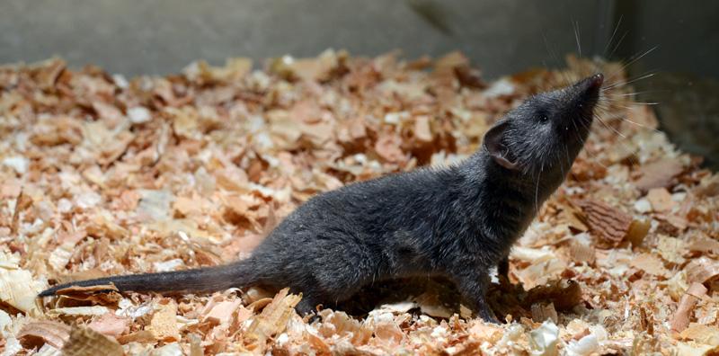 ジャコウネズミの画像 p1_11
