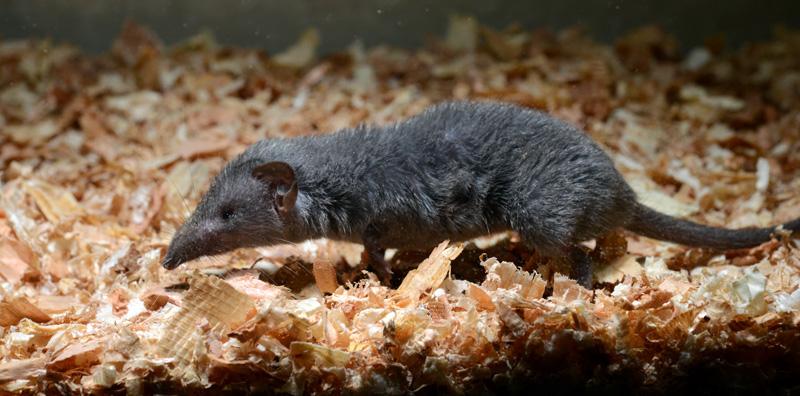 ジャコウネズミの画像 p1_17