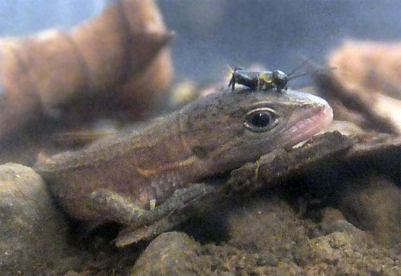 卵 カナヘビ
