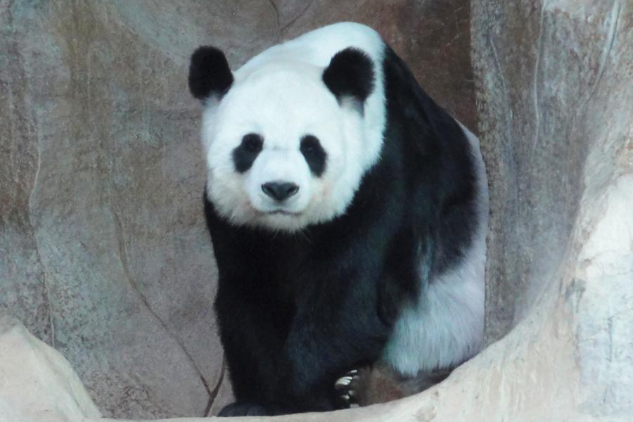 ジャイアントパンダの画像 p1_11