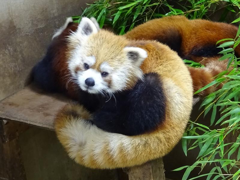 1歳くらいのレッサーパンダ