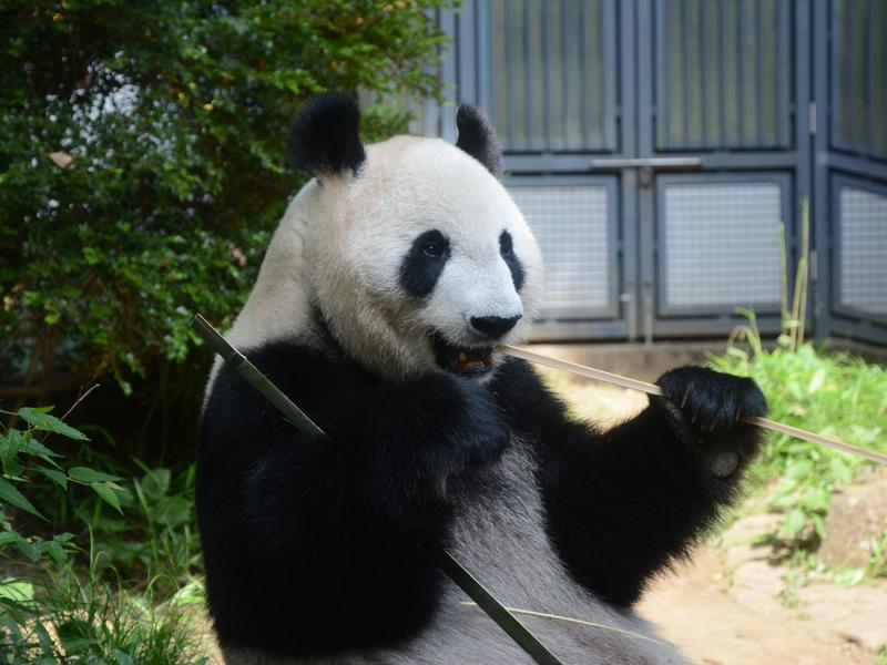 5月25日からジャイアントパンダ「シンシン」の展示中止及び近況(5月23 ...
