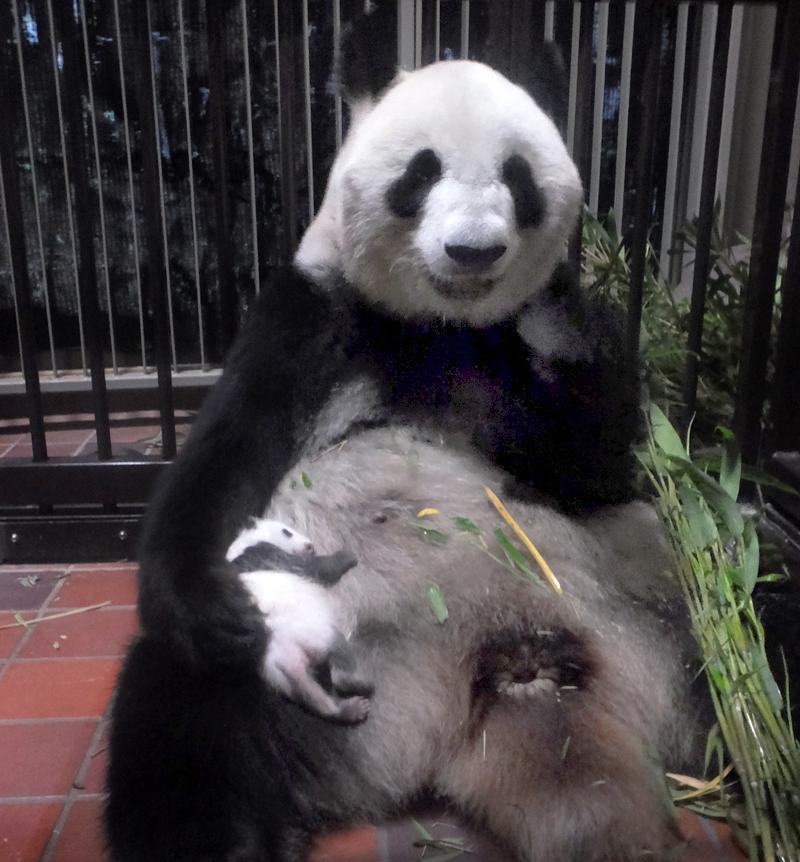 ジャイアントパンダ「シンシン」出産その後[8]体重は1キロ超   東京 ...