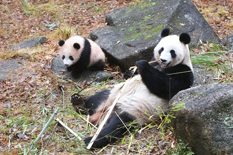 2/12 ジャイアントパンダ「リーリー&シンシン」来園7周年記念 ...