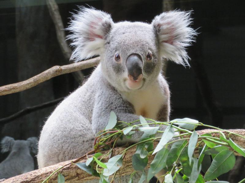 コアラのタイチが名古屋市東山動植物園へ移動します 東京ズーネット