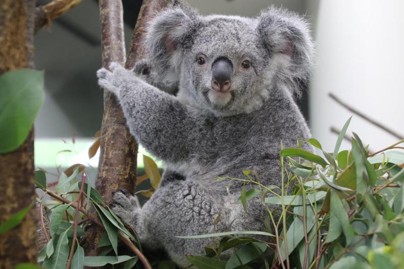 コアラのニーナが埼玉県こども動物自然公園から来園します 東京
