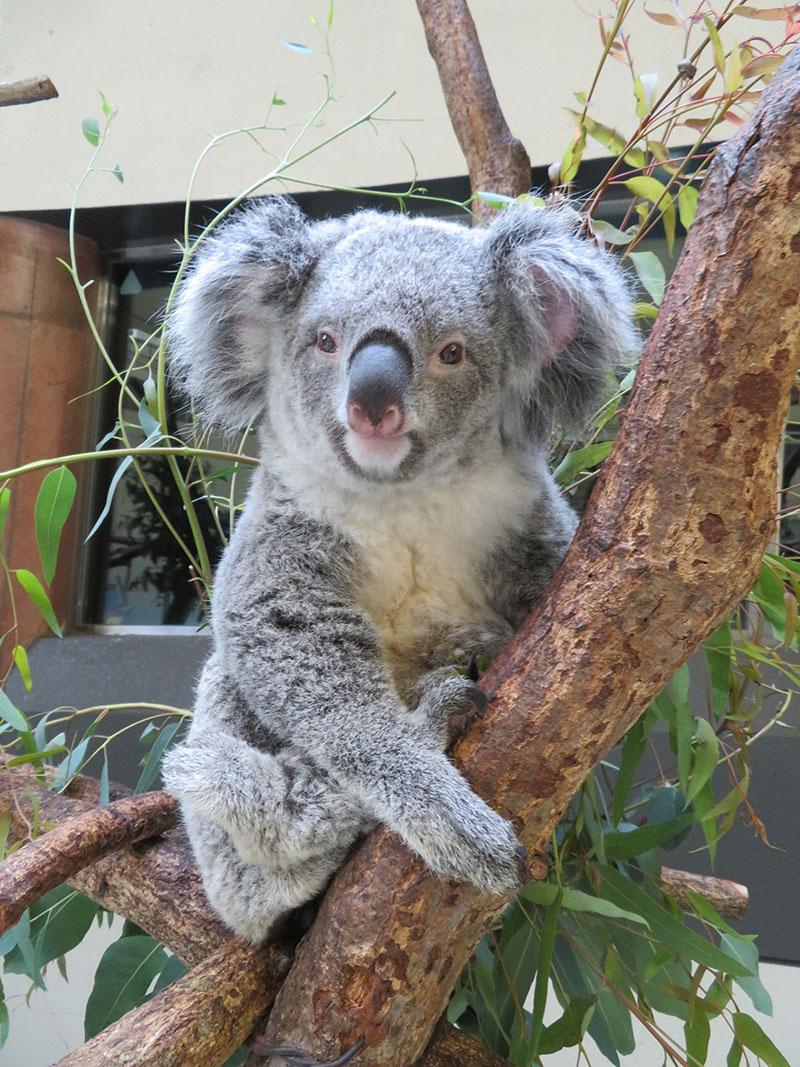 ゴールデンウィークにコアラ来園35周年記念イベントを開催します
