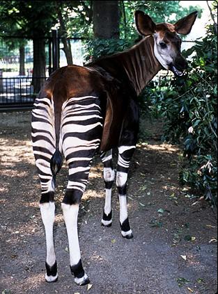 動物たちの横顔 09「珍獣オカピ」 | 東京ズーネット